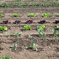 Gemüsegarten 2012